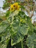 一个美丽的向日葵 库存图片