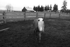 一个美丽的唯一幼小小马在农场 免版税库存照片