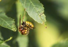 一个美丽的大黄蜂,布拉格 免版税图库摄影