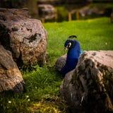 一个美丽的孔雀在公园 库存照片