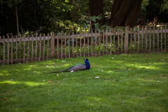 一个美丽的孔雀在公园 免版税库存图片
