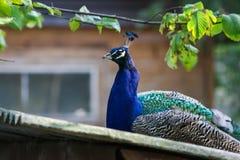 一个美丽的孔雀在公园 图库摄影