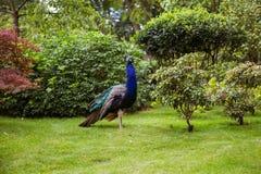 一个美丽的孔雀在公园 免版税库存照片