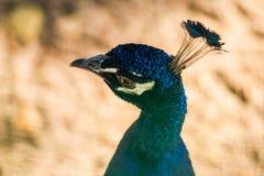 一个美丽的孔雀在公园 免版税图库摄影