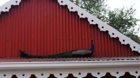 一个美丽的孔雀坐房子的屋顶 库存图片