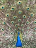 一个美丽的孔雀 图库摄影