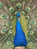 一个美丽的孔雀 免版税图库摄影