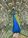 一个美丽的孔雀 免版税库存图片