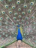 一个美丽的孔雀 免版税库存照片