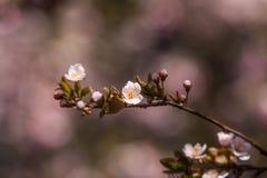 一个美丽的开花的李子开花特写镜头在春天 库存图片