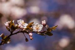 一个美丽的开花的李子开花特写镜头在春天 免版税库存照片