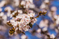 一个美丽的开花的李子开花特写镜头在春天 免版税图库摄影