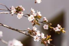 一个美丽的开花的李子开花特写镜头在春天 库存照片