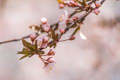 一个美丽的开花的李子开花特写镜头在春天 免版税库存图片