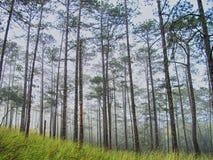 一个美丽的杉木森林 免版税库存照片
