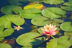 一个美丽的桃子和黄色莲花百合,在一个可爱的小组的集合绿色稻上,在泰国池塘 库存图片