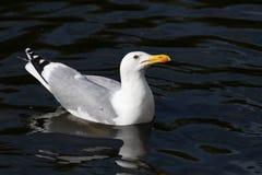 一个美丽的海鸥和在眼睛附近的红色外缘的画象与橙色额嘴的 免版税库存图片