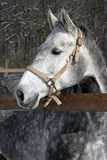 一个美丽的白马的特写 免版税库存图片
