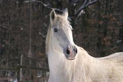 一个美丽的白马的特写 库存图片