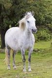 一个美丽的空白Dartmoor小马,德文郡,英国 免版税图库摄影