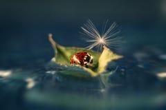 一个美丽的红色瓢虫用绒毛蒲公英 免版税库存图片