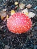 一个美丽的蘑菇在森林里增长 库存照片