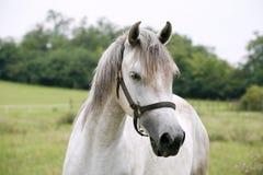 一个美丽的阿拉伯白马的画象 库存图片