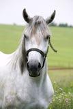 一个美丽的阿拉伯白马的画象 图库摄影
