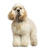 一个美国美卡犬身分的正面图,被隔绝 库存照片
