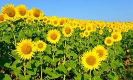 一个美好的向日葵领域 免版税库存图片