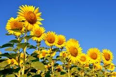 一个美好的向日葵领域 库存照片