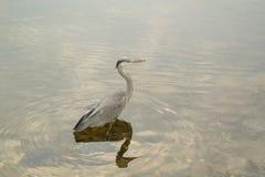 一个美好的苍鹭身分在搜寻的水中鱼 免版税库存图片