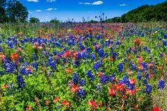 一个美好的领域覆盖与著名明亮的蓝色得克萨斯矢车菊和明亮的橙色印度画笔 免版税库存图片