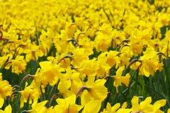 一个美好的黄色黄水仙领域的特写镜头根据春天太阳的 染黄黄水仙水仙的看法在太阳开花 免版税库存照片