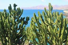一个美妙的仙人掌叫Euphorbia canariensis lanzarote西班牙 库存图片
