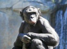 一个老倭黑猩猩坐在阳光下 免版税库存图片