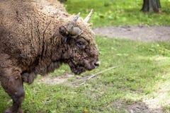 一个老北美野牛的画象在Bialowieza 免版税库存图片