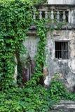 一个老房子的墙壁有绿色藤条的 库存照片