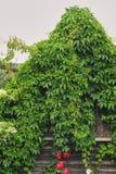 一个老房子长满与常春藤,房子的屋顶用丛林完全地盖 免版税库存照片