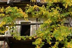 一个老木阳台的五颜六色的葡萄园在秋天 免版税库存图片