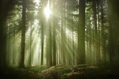 一个老杉木森林在秋天阳光下 免版税库存照片
