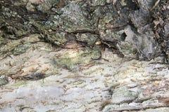 一个老树前景(背景图象)的树干 免版税库存图片