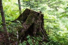 一个老树桩在多山潮湿森林里在清早在森林 库存图片