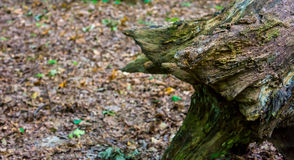 一个老树桩的照片在一个绿色森林里 图库摄影