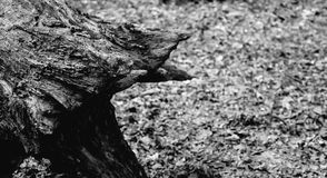 一个老树桩的照片在黑白一个绿色的森林里 库存图片