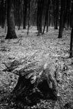 一个老树桩的照片在黑白一个绿色的森林里 免版税库存图片