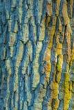 一个老橡树的吠声 免版税库存图片