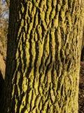 一个老橡树的纹理 免版税库存图片