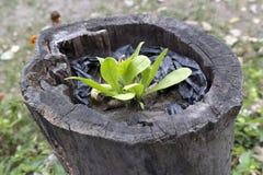 一个老空的树桩的年轻绿色植物 库存照片