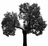 一个老结构树剪影 库存图片